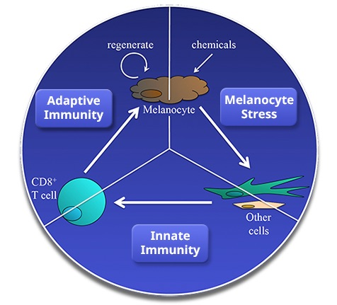 melanocits